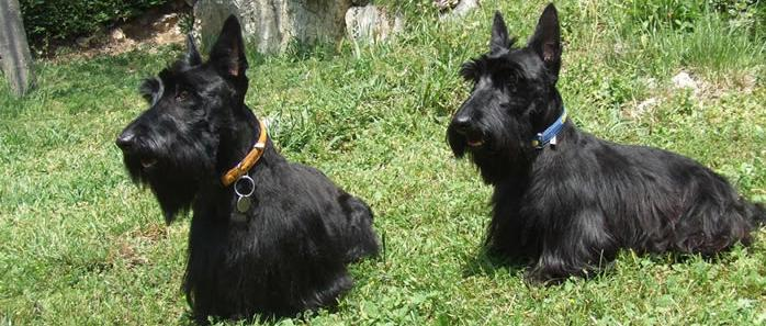 Scottish Terrier primer plano