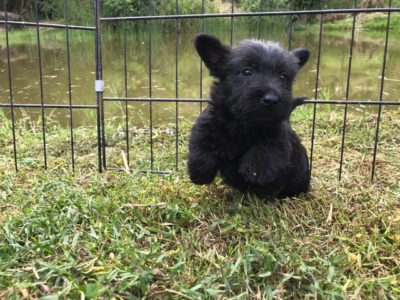 cachorro Scottish Terrier