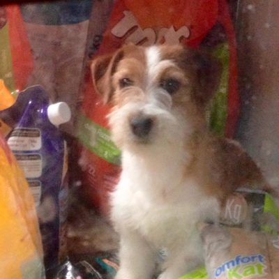 Vavelos Amelia Jack Russell Terrier