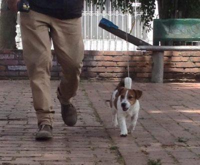 Vavelos Alexander Jack Russell Terrier