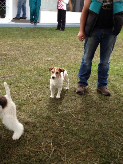 Calixto Rosa del Tafi Jack Russell Terrier