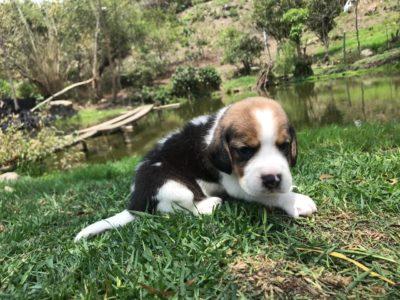 comprar un beagle