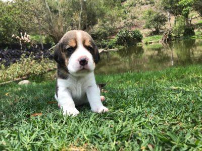 criadero de beagle en Bogotá