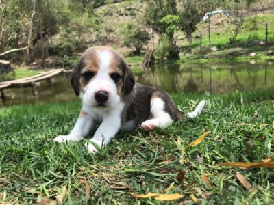 comprar cachorro beagle
