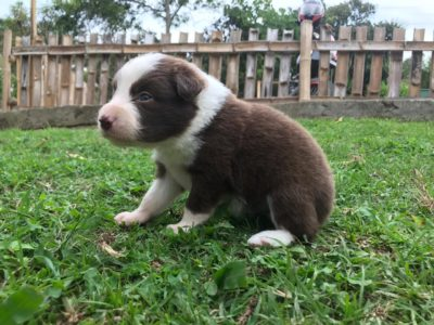 criadero de border collie