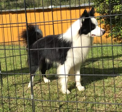 poo border collie