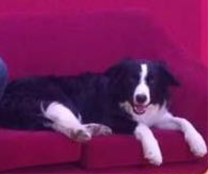 border collie Bobby comercial TV