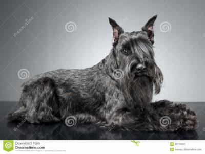 scotish terrier