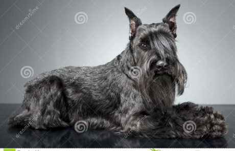 scotish terrier